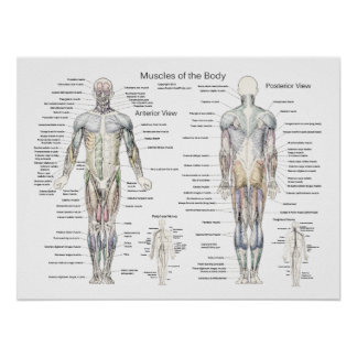 Muscle Anatomy Poster Anterior and Posterior