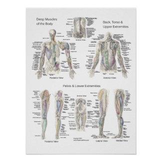 Muscle Anatomy Poster Deep Layers
