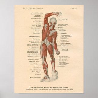 Muscle Anatomy Vintage Print in German