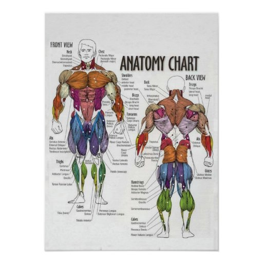 Muscle Diagram - Gym Poster