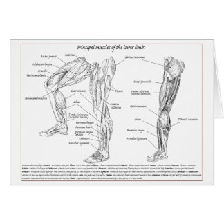 Muscle of the lower limbs card
