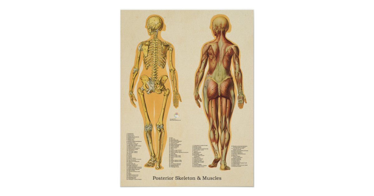 Muscle Skeleton Skeletal Anatomy Chart Female Zazzle