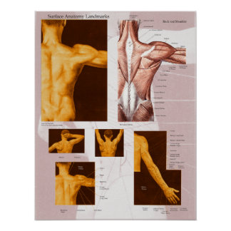 Muscle Surface Anatomy Poster Back & Shoulder