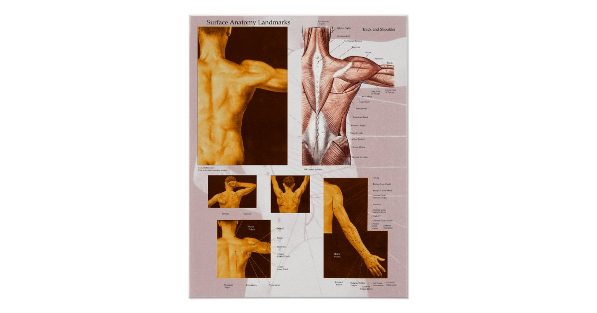 Muscle Surface Anatomy Poster Back Shoulder Zazzle