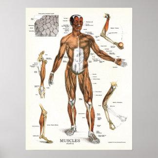 Muscles Anatomy Anatomical Chart