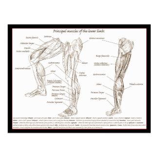 Muscles of lower limb postcard