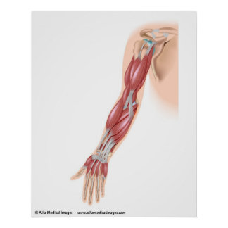 Muscles of the arm, medical drawing. posters