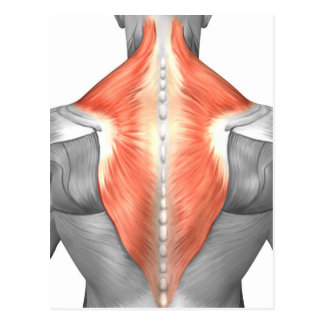 Muscles Of The Back And Neck Postcard