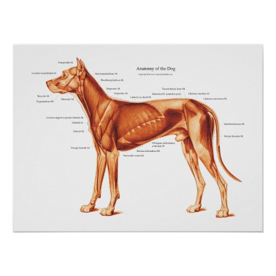 Muscles Of The Dog Anatomy Poster Zazzle
