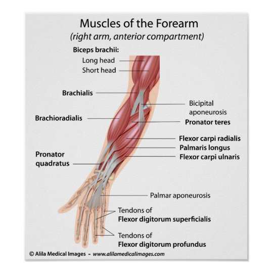 Muscles Of The Forearm  Labeled Diagram  Poster