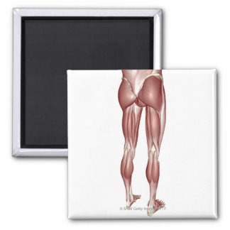 Muscles of the Lower Body Fridge Magnets