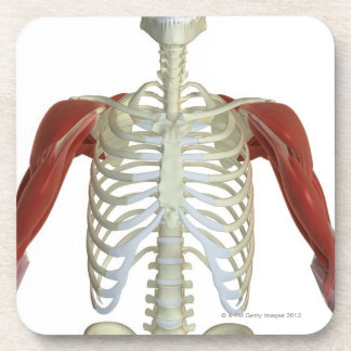 Muscles of the Shoulder 2 Coasters