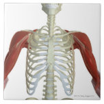 Muscles of the Shoulder 2 Tiles