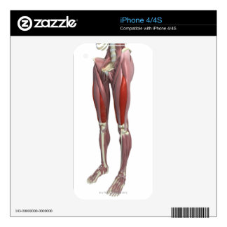 Muscles of the Thigh iPhone 4S Decals