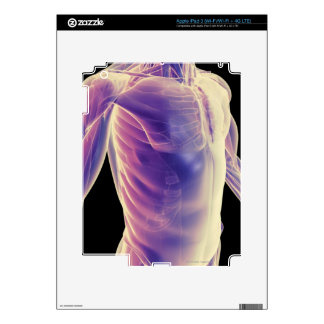 Muscles of the Trunk 3 iPad 3 Skin