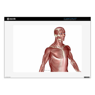 Muscles of the Upper Body 2 Laptop Decal