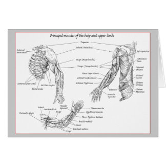 Muscles of the upper body card