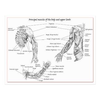 Muscles of the upper body postcard