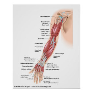 Muscles of the whole arm, labeled drawing. posters