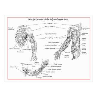 Muscles of upper limbs postcard
