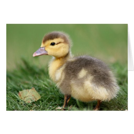 Muscovy Duckling Card