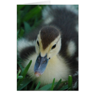 Muscovy Duckling Notecard