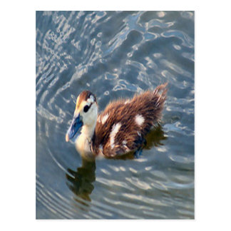 Muscovy Duckling Photo Postcard