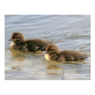 Muscovy Ducklings Photo Postcard