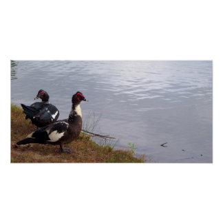 Muscovy Ducks at Cooper Creek Park Poster