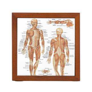 Muscular and Skeletal Anatomy Illustrations Desk Organizer