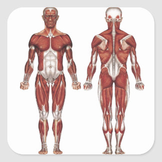 Muscular system, front and back square sticker