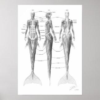 Musculatura de la sirena posters