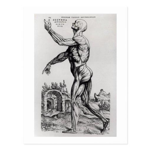 Musculature Structure of a Man (b/w neg & print) Post Cards