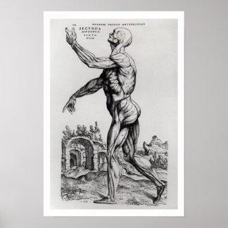 Musculature Structure of a Man (b/w neg & print) Poster