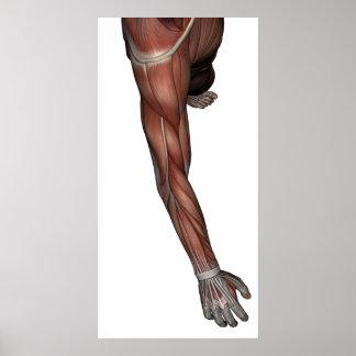 Músculo del poster del hombre