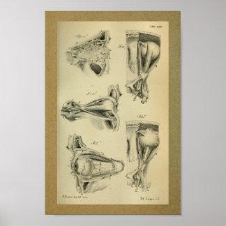 Músculos 1850 de ojo de la impresión de la póster