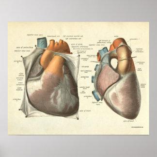 Músculos cardíacos humanos de la impresión de la a póster