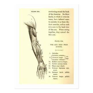 Músculos de la anatomía el | del vintage del brazo postales
