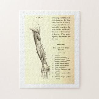Músculos de la anatomía el | del vintage del brazo puzzle