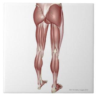 Músculos de la parte inferior del cuerpo azulejo cuadrado grande