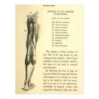 Músculos de la pierna de la anatomía el   del tarjetas postales