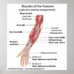 Músculos del antebrazo, etiquetados diagrama impresiones