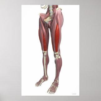Músculos del muslo poster