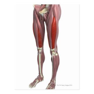 Músculos del muslo postal