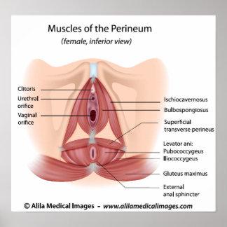 Músculos femeninos de la pelvis y del perinéo, eti poster