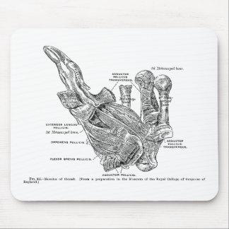 Músculos humanos del pulgar del ejemplo médico del alfombrilla de ratones