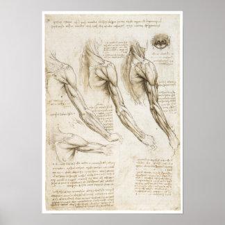 Músculos superficiales de la extremidad superior póster