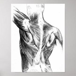 Músculos traseros de la anatomía el | del vintage póster