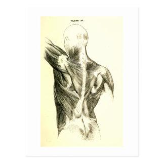 Músculos traseros de la anatomía el | del vintage postal