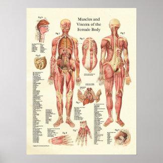 Músculos y visceras del poster femenino de la anat